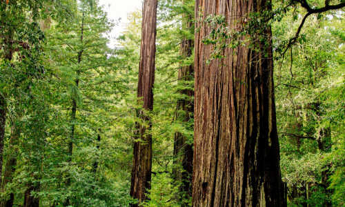giant redwoods in california